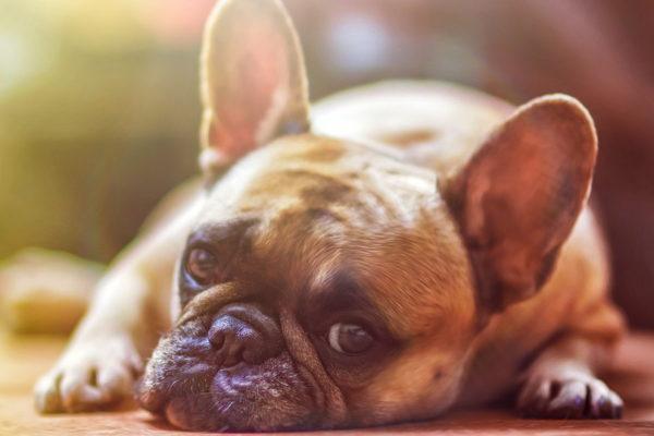 French Bulldog Public Domain